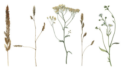 Set of watercolor field's plants isolated on white background. Botanical illustration.