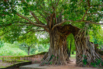 Gate of time. Arch of bodhi Tree. Unseen Thailand at Wat Phra Ngam, Phra Nakhon Si Ayutthaya, Thailand.
