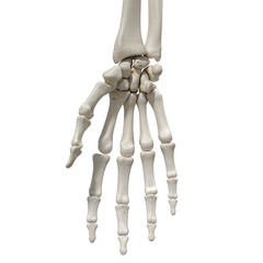 medically accurate 3d rendering of the hand bones
