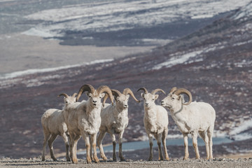 Portrait of Dall's sheep rams standing against barren landscape