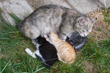 Katzenmutter bei der Versorgung ihrer Katzenbabys