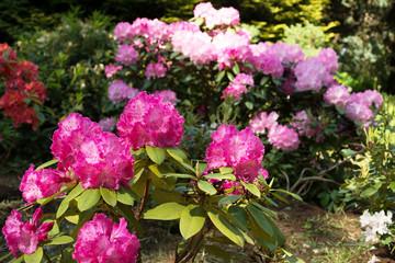 Foto op Canvas Azalea Blooming rhododendron in the garden