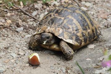 Turtle in Greece, 2017