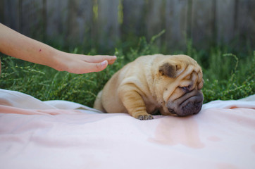 Little shar pei puppy with blond girl. Cute dog brown color pet