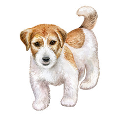 Dog Jack Russell Terrier Rough isolated on white background. Watercolor. Illustration. Picture