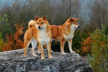 Portrait of Two Shiba Dogs