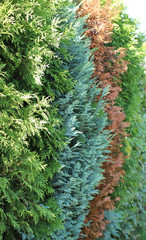 detail of hedge made of thuja cultivars of several different colors