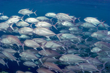 School of fish swimming over coral reef