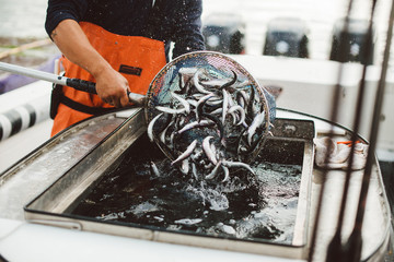 Fisherman dumps net of live bait into bait well on commercial boat