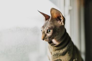 Funny Sphinx Cat gazing