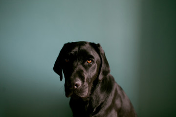 Portrait of serious black lab