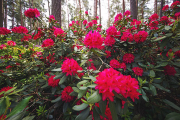 Pink Rhododendron flowers blooming outdoors in the garden in summer