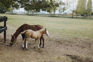 Pale blue eyed foal and grazing mother mare