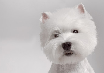 WEST HIGHLAND WHITE TERRIER dog Wall mural
