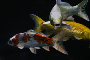 Close-up of three different colored Koi fish in a fish tank