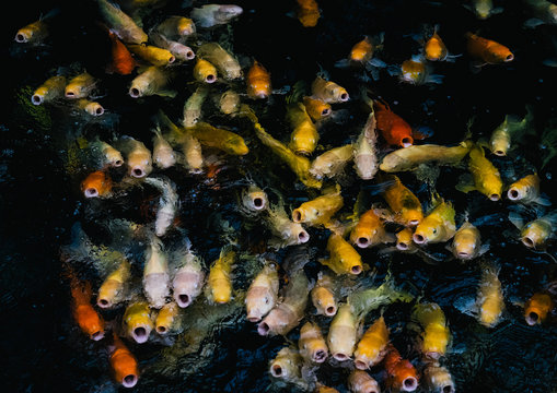 Swarm of Koi fish in different colors swimming in a big fish tank