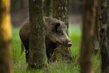wild boar, sus scrofa, Czech republic