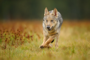 Running wolf cub from front view