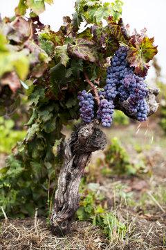 Grapes Growing on Old Vine in Vineyard