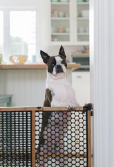Boston terrier trapped behind a baby gate
