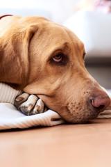 Sad Labrador looking up lying on floor