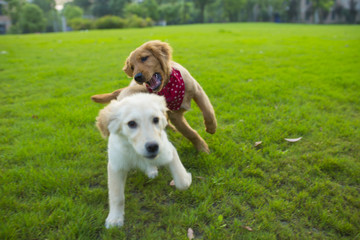 two young dog playing