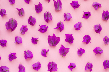 Purple bougainvillea on a pink background