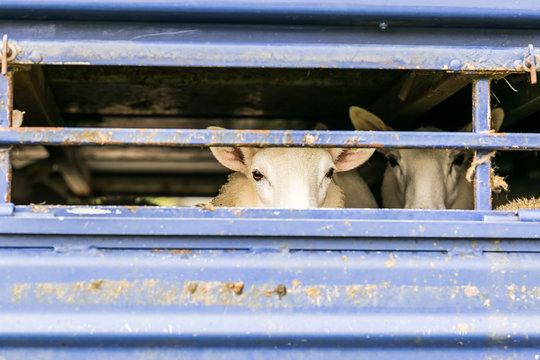 Sheep in transportation truck