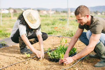 Farmers couple planting vegetables in a greenhouse.