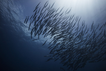 Shoal of barracuda fish swimming underwater