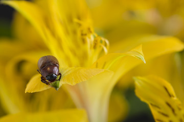 A beetle on a yellow flower petal