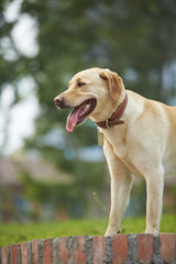 close up of one Labrador retriever outdoor