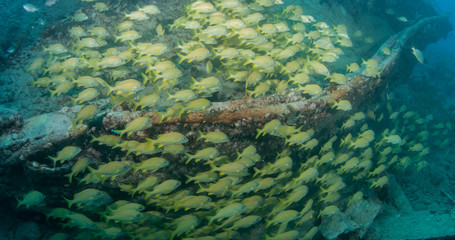 Schooling fish on a wreck in Key West.