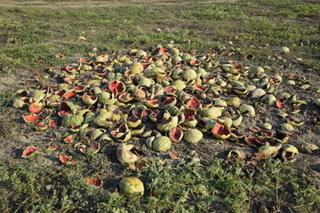 Heaps of rotting watermelons. Peel of melon. An abandoned field of watermelons and melons. Rotten watermelons. Remains of the harvest of melons. Rotting vegetables on the field.
