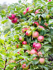 Ligol apple tree branches with apples after rain