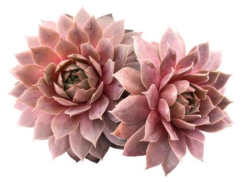 Supervivum Succulent