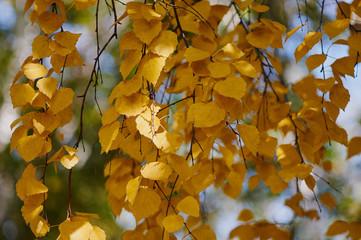 Желтеющие листья на дереве осенью