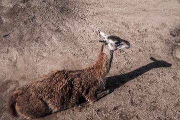 animal nature  llama