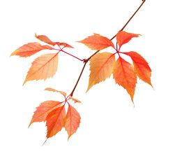 Branch of autumn leaves isolated on a white background.  Parthenocissus quinquefolia. studio  shot