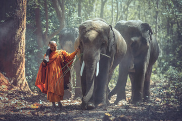 Asain Young elephant with Monk, thailand