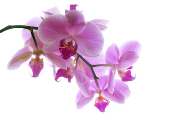 Orchidee  pink