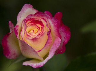 Charming Two-Colored Rose. Rose Selective Trick.Rose variety of Empress Farah