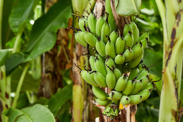 Banana tree in fields