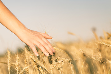 Image of wheat field and human's hand