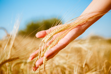Photo of spikelets in hand