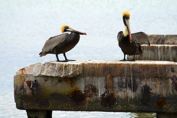 Brown Pelican,Pelecanus occidentalis, by the sea