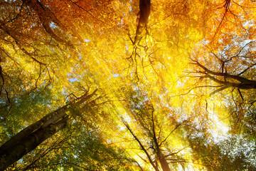 Wall Mural - Buntes Blätterdach mit warmen Sonnenstrahlen im Herbst