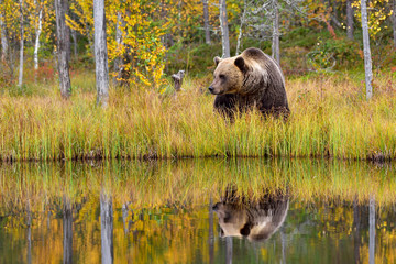 Wildflife photo of large brown bear (Ursus arctos) in his natural environment in northern Finland - Scandinavia in autumn forest, lake and colorful grass