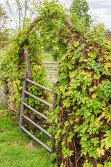 Garden gate surrounded by green hop.