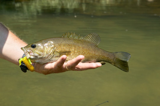 Fisherman holding a freshly caught smallmouth bass
